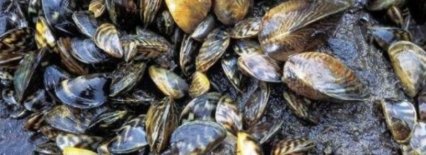 Positive and negative effects of Zebra mussels