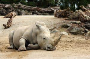 Grey Rhino at a Zoo