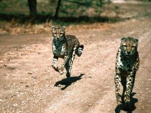 Tanzania is home to amazing animals like Cheetahs.